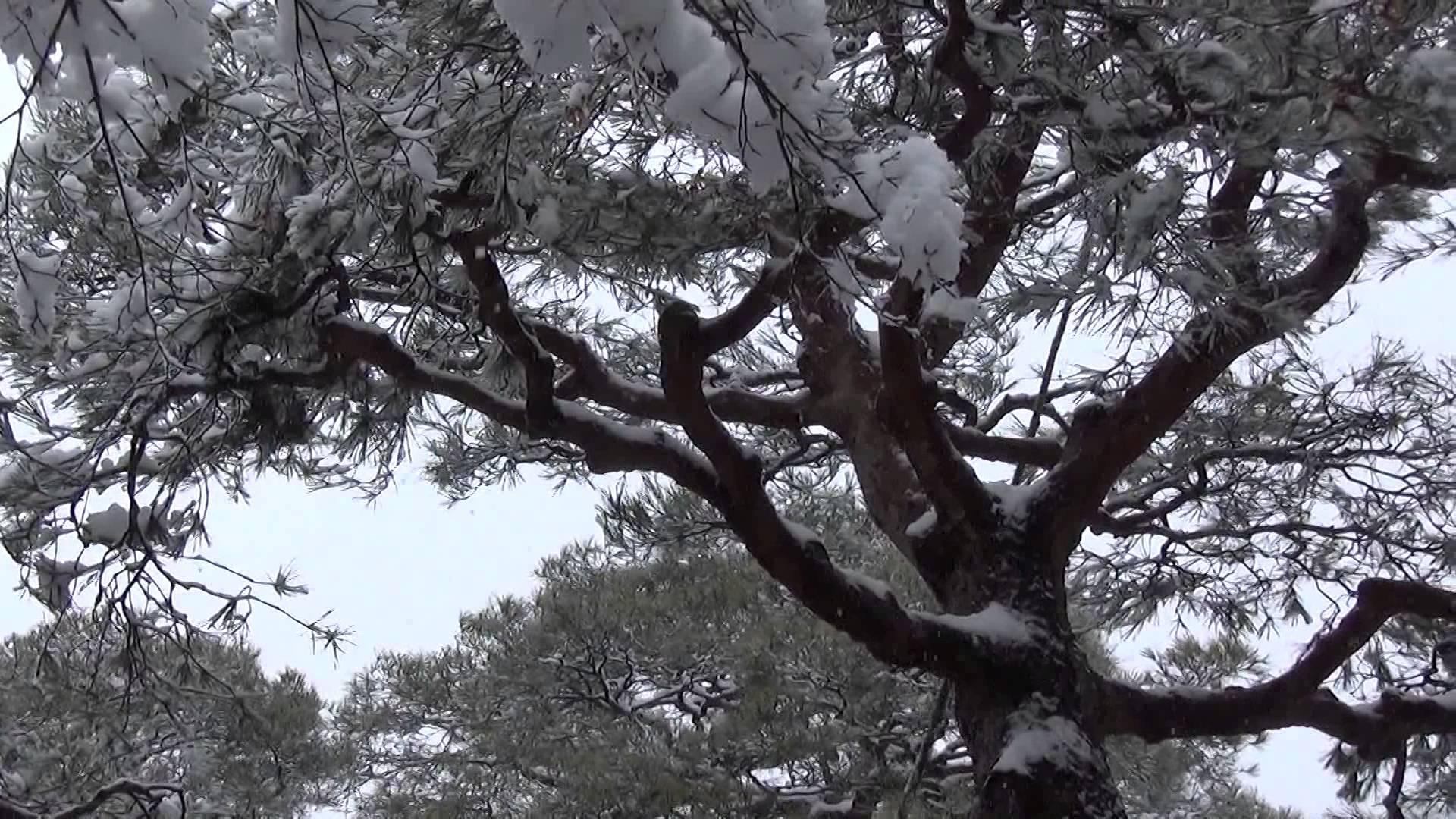 雪化粧銀閣寺の庭にて除雪部隊が大活躍