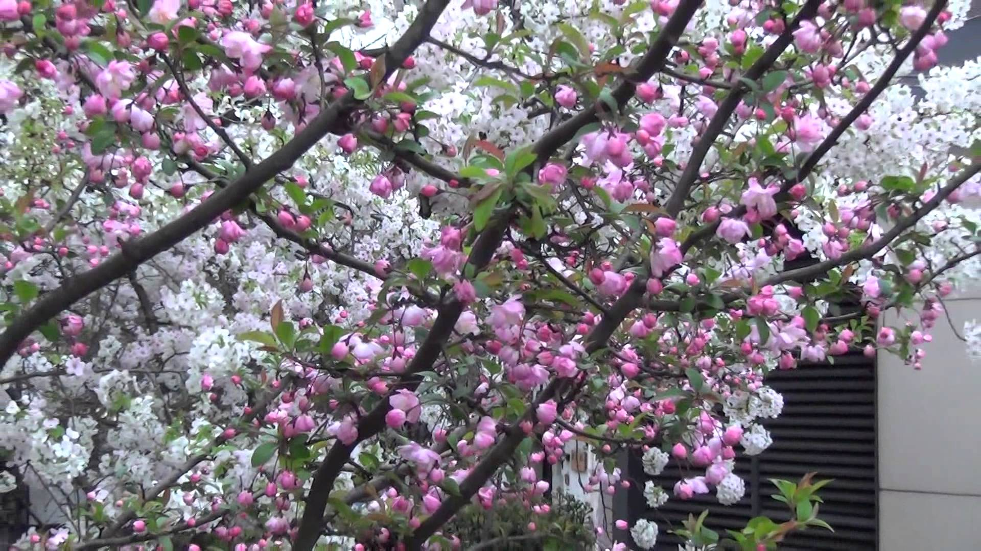 京都 四条木屋町「高瀬川沿いの桜並木」は、ライトアップ前とライトアップ後はどちらがきれいか?