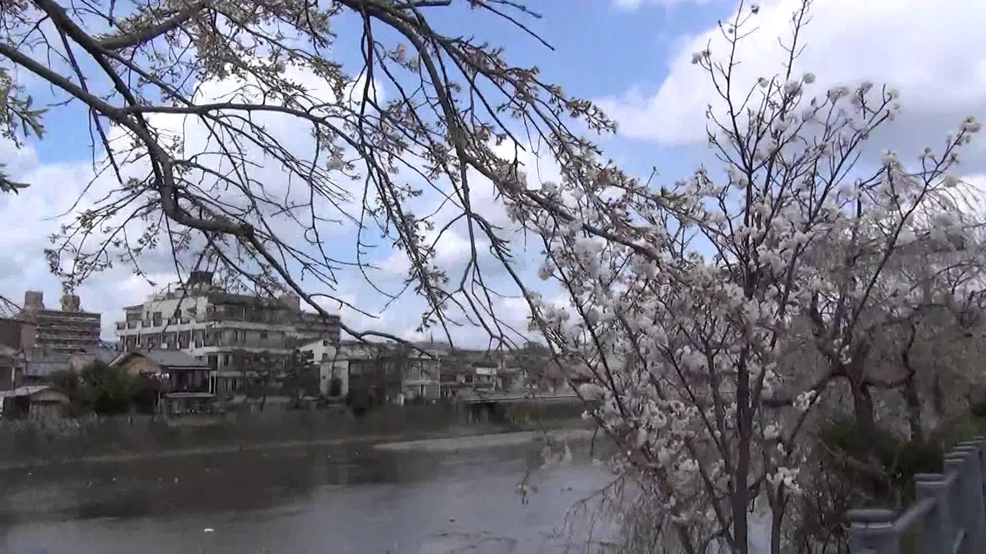 お花見ウォーキングに最適!ずーと可憐な桜が続く、京都 川端通の七条大橋付近から四条大橋まで歩くと・・・