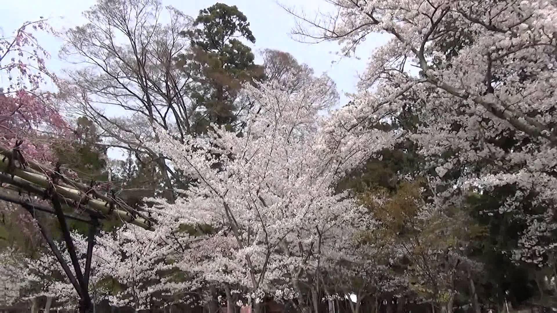 ひろーい芝生が拡がる開放的な空間で咲き乱れる桜たちに癒された上賀茂神社
