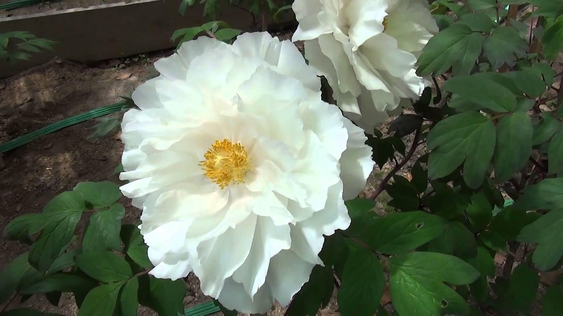 今が見頃の色とりどりの牡丹やツツジや桜などに心が癒される乙訓寺でのひととき