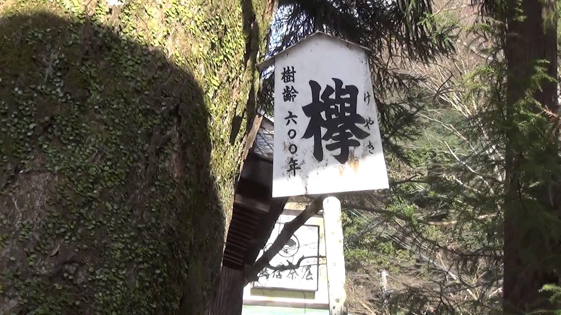 貴船神社編2 樹齢600年の巨大な「欅(けやき)」のご神木に息をのむ