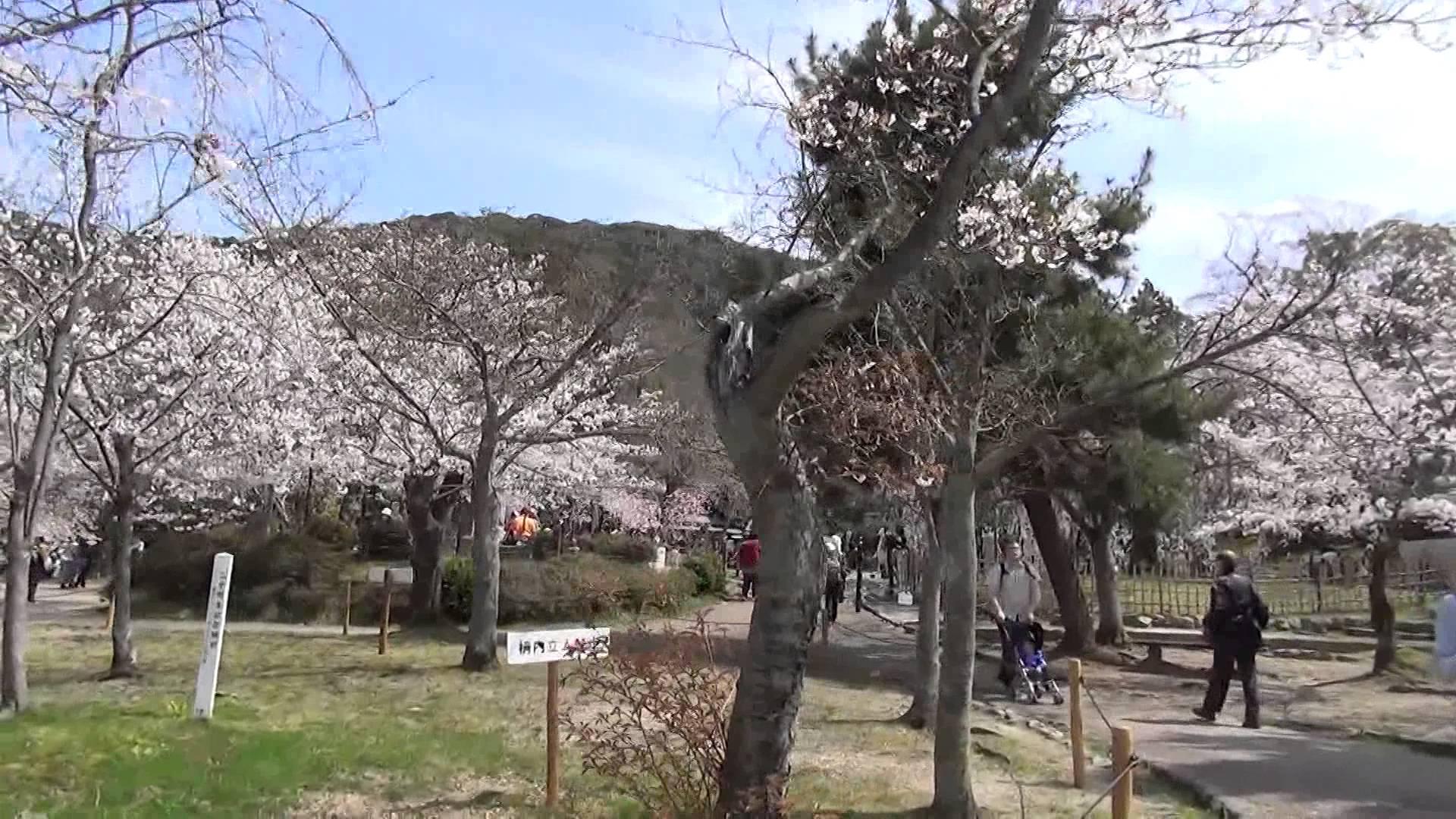 4月1日、円山公園は、どこを見ても桜がサクサク、満開のお花見シーズン到来!