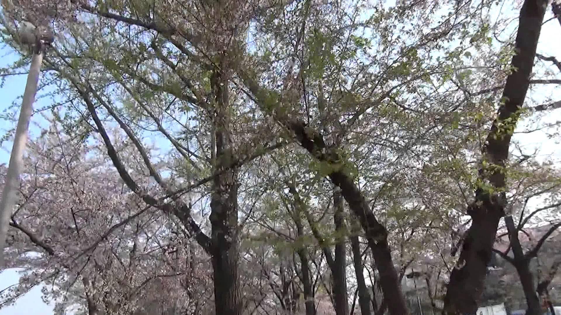 4月10日現在、烏丸七条 東本願寺前の桜並木は徐々に葉桜に変身中